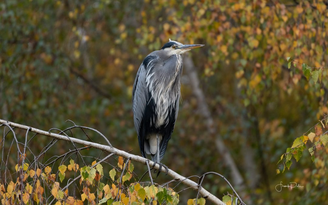 Coppers Hawk,Bushtit & The Great Blue Heron